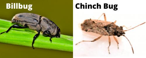 Billbug vs Chinch bug