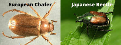 june bug vs european chafer