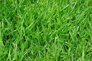How to get rid of crab grass