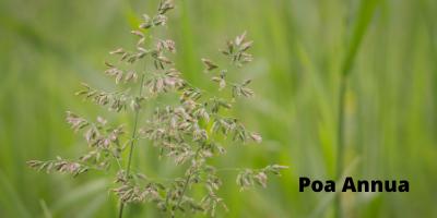 Poa annua or annual blue grass