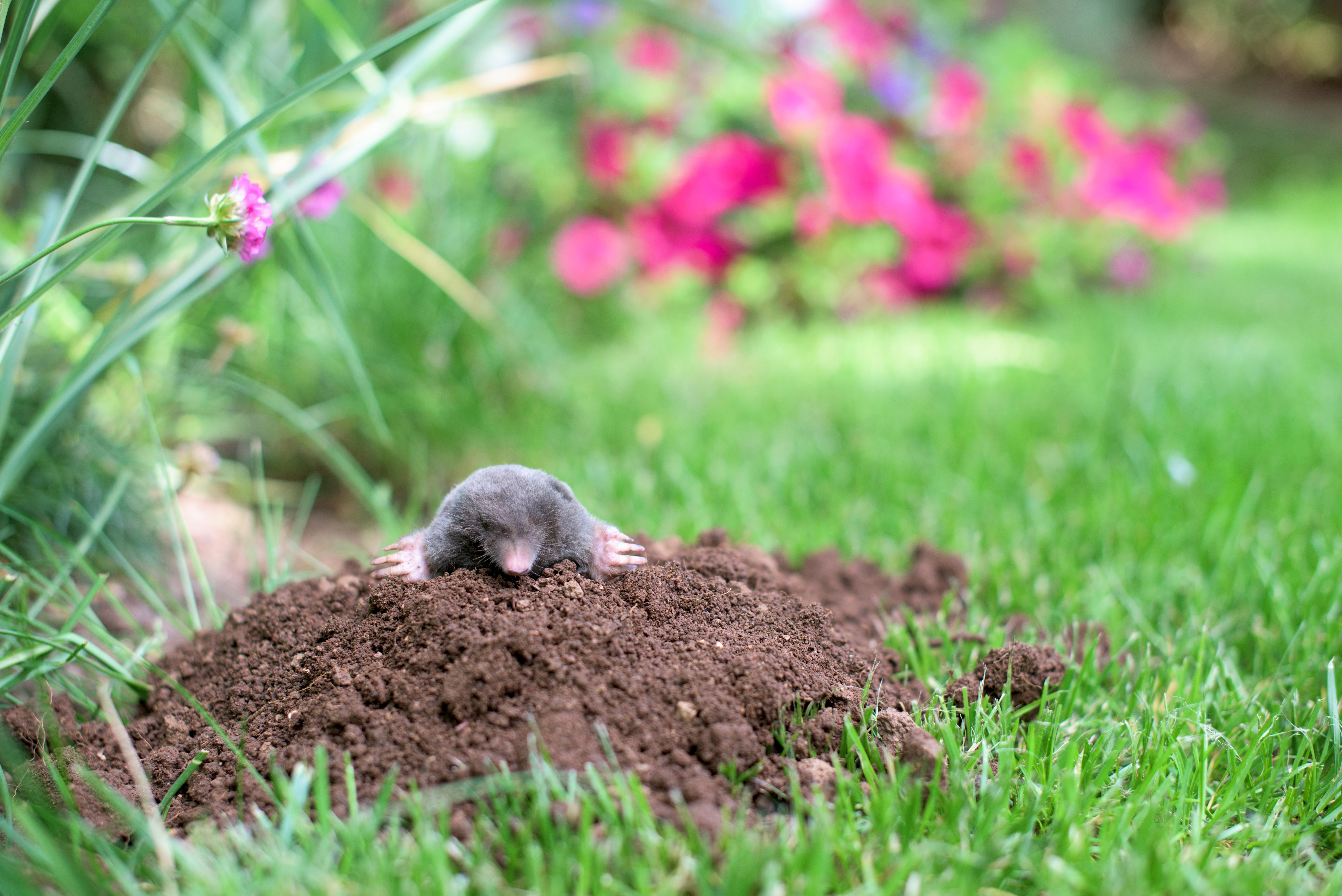 How do I get ride of moles and grubs?